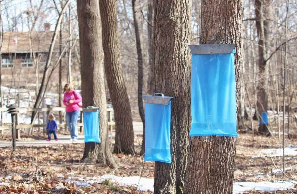 Trees are tapped and flowing. Visit the Maple Syrup Festival March 4 & 5, 2017 at Cedar Heights Elementary in Cedar Falls to find out how maple syrup is made.