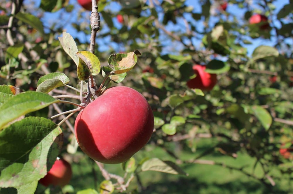 Local Apple Orchards, Cedar Falls, Iowa